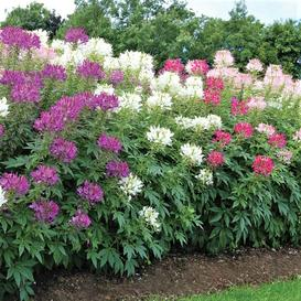 Cleome Seeds - Mixed Colors - Packet