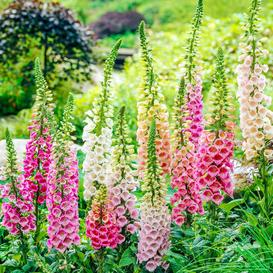 Foxglove Seeds - Excelsior Mix