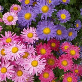 China Aster Seeds - Single Mix - Packet