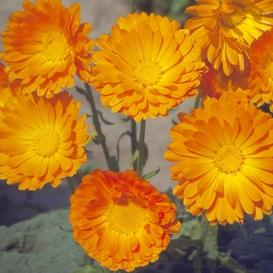 Calendula Seeds - Balls Improved Orange