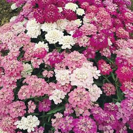 Candytuft Seeds - Mixed Colors - Ounce