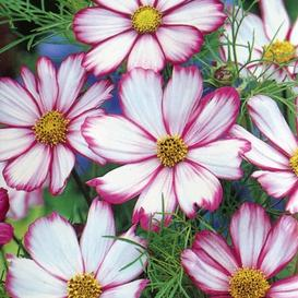 Cosmos Seeds - Candystripe - Packet
