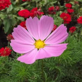 Cosmos Seeds - Pinkie - Ounce