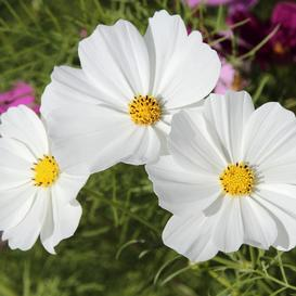 Cosmos Seeds - Purity - Ounce