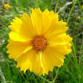 Lance-Leaf Coreopsis Seeds - Ounce