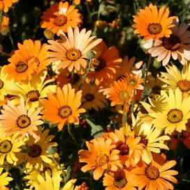 African Daisy Seeds (Flake)