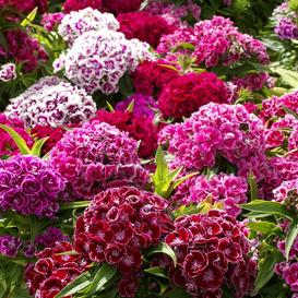 Sweet William Seeds - Tall Double Mix