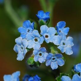Chinese Forget Me Not Seeds - Ounce