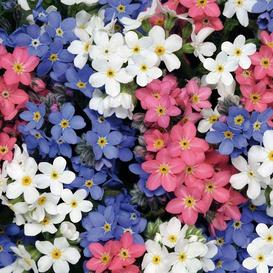 Forget Me Not Seeds - Mixed Colors