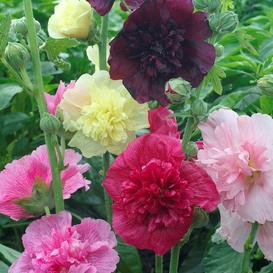 Hollyhock Seeds - Majorette Double Mixed