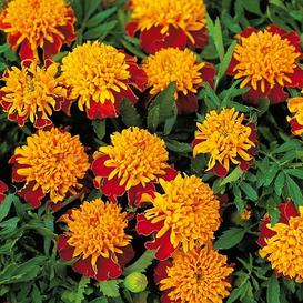 French Marigold (Double) Seeds - Tiger Eyes