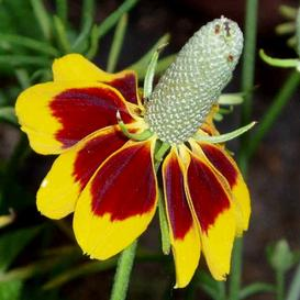 Mexican Hat Seeds - Ounce