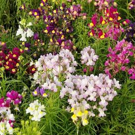 Toadflax / Spurred Snapdragon Seeds - Ounce