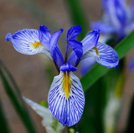 Wild Blue Iris Seeds - Packet