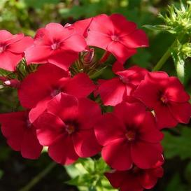 Annual Phlox Seeds - Red - Packet
