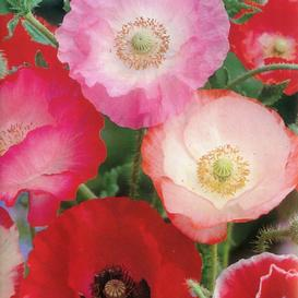 Shirley Poppy Seeds - Mixed Red & Pink - Ounce