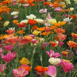 California Poppy Seeds - Mission Bells Mix
