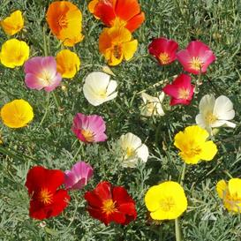 California Poppy Seeds - Mixed Colors - Packet