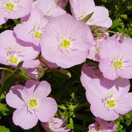 Showy Evening Primrose Seeds - Ounce