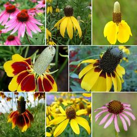 Conehead - Coneflower Seed Mix