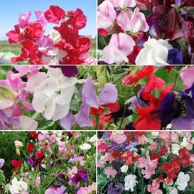Sweetie - Sweet Pea Flower Seed Mix