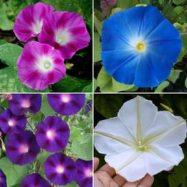 Top O The Morning - Morning Glory Flower Seed Mix