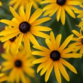 Bulk Black Eyed Susan Seeds
