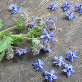 Bulk Borage Seeds