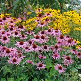 Bulk Coneflower Seeds