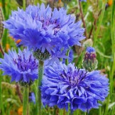 Bulk Cornflower / Bachelor's Button Seeds