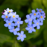 Bulk Forget-Me-Not Seeds