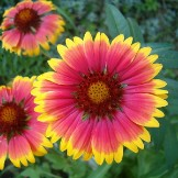 Bulk Blanket Flower Seeds