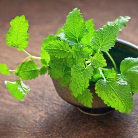 Bulk Lemon Balm Seeds