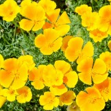 Bulk California Poppy Seeds